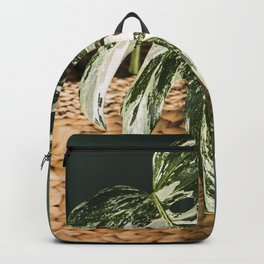 Variegated Monstera deliciosa, Albo version. Close up photography.  Backpack