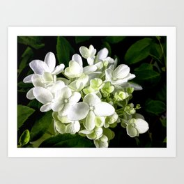 White Hydrangea With Strength And Honor Art Print