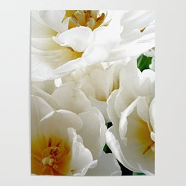 White tulips with afterglow centers Poster