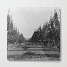 Pear tree orchard, ca.1900 Metal Print