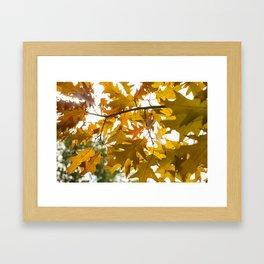 Golden oak leaves Framed Art Print