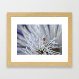 Clover Mite on a clematis Framed Art Print