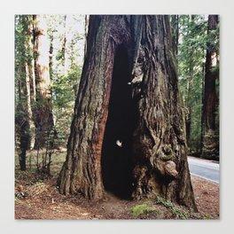 Inside A Redwood  Canvas Print