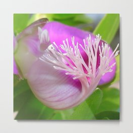 Pink Polygala Myrtifolia in Macro with Green Background  Metal Print
