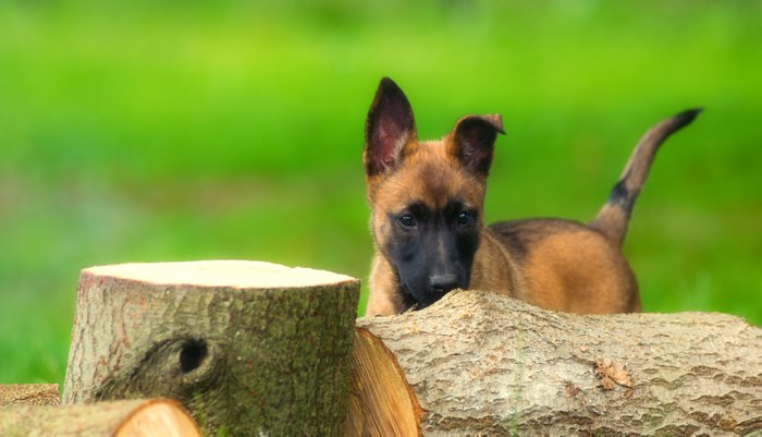 Cute Malinois Dog after the wood Pillow Sham