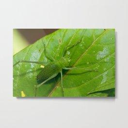 Speckled bush-cricket Metal Print