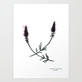 Lavendula angustifolia Art Print