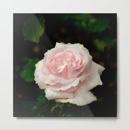 Rose twins with droplets Metal Print
