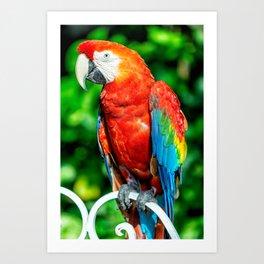 Amazon Parrot Art Print