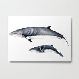 Minke whale with baby whale Metal Print
