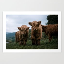 Scottish Highland Cattle Calves - Babies playing II Art Print
