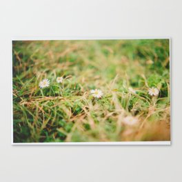 Beach daisies Canvas Print