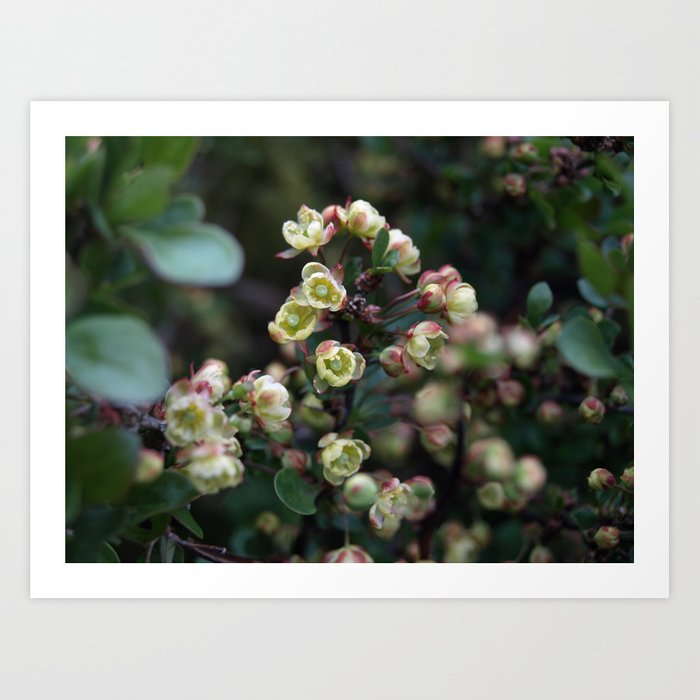 TINY FLOWERS OF A BERBERIS Art Print