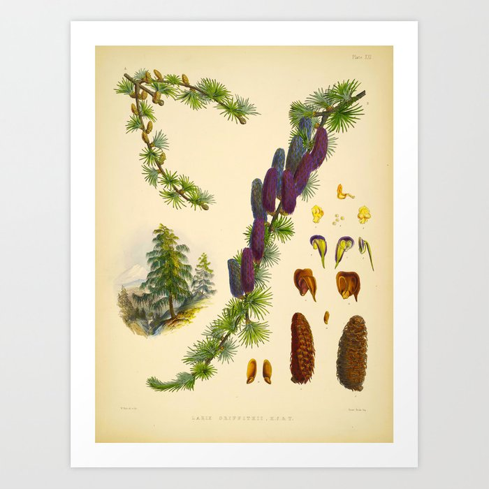 Vintage Scientific Illustration Himalayan Pine Trees Cone Art Print