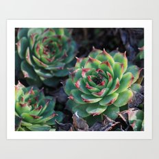 Sempervivum Succulents Art Print