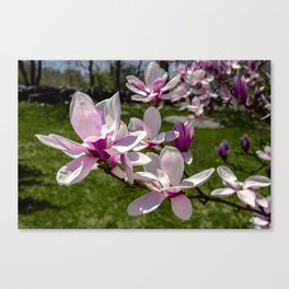 Magnolia flowers in the backyard Canvas Print