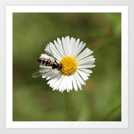 Native Bee on Seaside Daisy Art Print