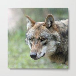 Wolf_20171201_by_JAMFoto Metal Print