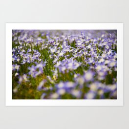 a sea of squill blossoms Art Print