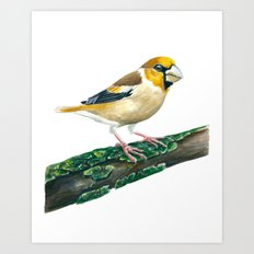 Hawfinch bird Art Print