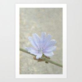 cichorium  Art Print