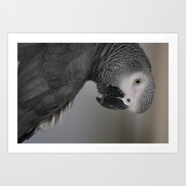 Portrait: African Grey Parrot Art Print