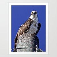 david fleck Art Prints featuring My favorite osprey, Fleck by Sandy Scott