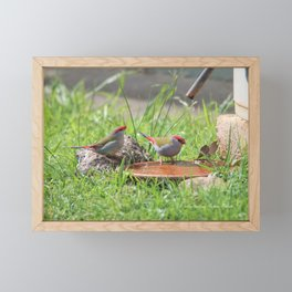 Red Browed Finches Framed Mini Art Print