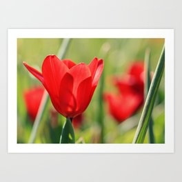 Red tulips in backlight 2 Art Print