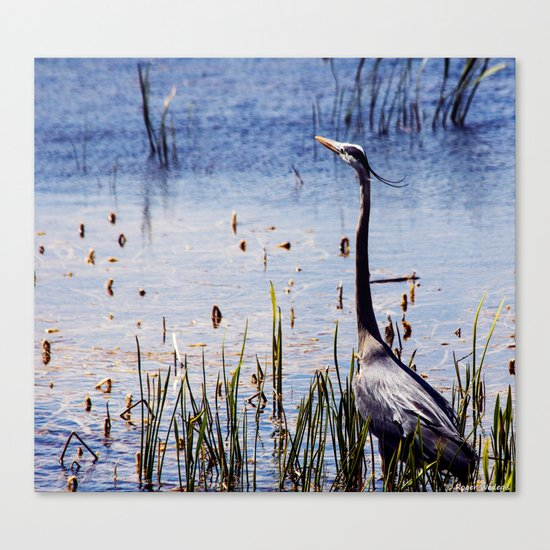 Great Blue Heron In The Florida Wetlands Canvas Print