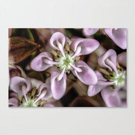 Milkweed flower close up Canvas Print