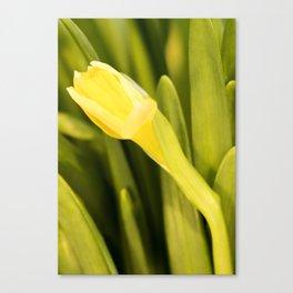 Tête-à-Tête Daffodil Opening Canvas Print