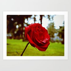 Single red rose Art Print