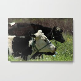 Holstein Cow Lying in a Pasture Metal Print