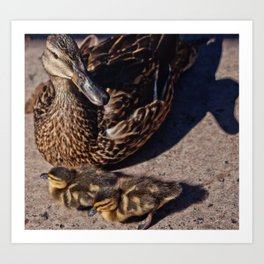 Mother Duck and Her Babies Art Print