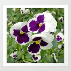 Pansies in Purple and White Art Print
