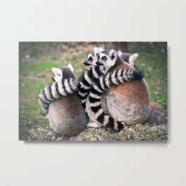 Ring Tailed Lemurs in Portugal - by Cheryl Gerhard Metal Print