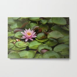 Pink Blossom on Lily Pads in a Michigan Pond Metal Print