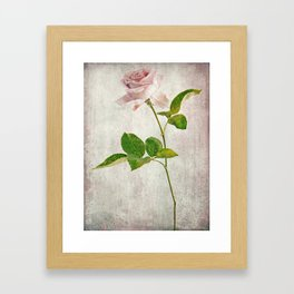 English Tea Rose  Framed Art Print