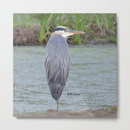 Blue Heron at Hillsboro Pond Metal Print