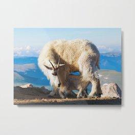 Mountain Goats Nanny and Kid Mount Evans Colorado USA Metal Print