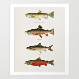 Illustrated North American Freshwater Trout Game Fish Identification Chart Art Print