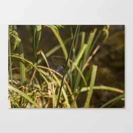 Dragonfly in the marsh Canvas Print