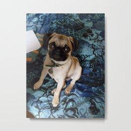 Baby pug in blue Metal Print