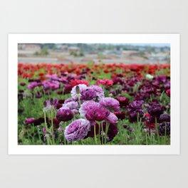 Ranunculus Field Art Print