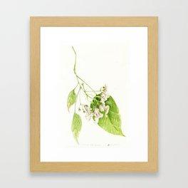 Catalpa Blossom 2017 Framed Art Print