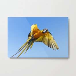 Blue Macaw in flight Metal Print