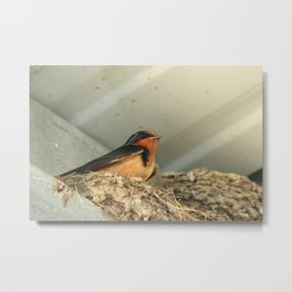 Barn Swallow in Its Nest Metal Print