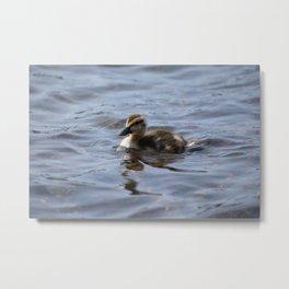 Swimming Duckling Metal Print