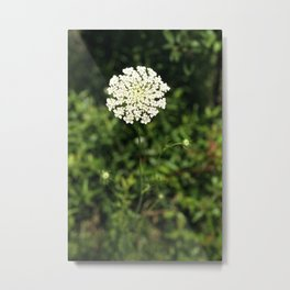 Queen Anne's Lace. Metal Print